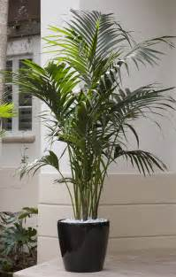 a premium plant kentia palm is an plant that