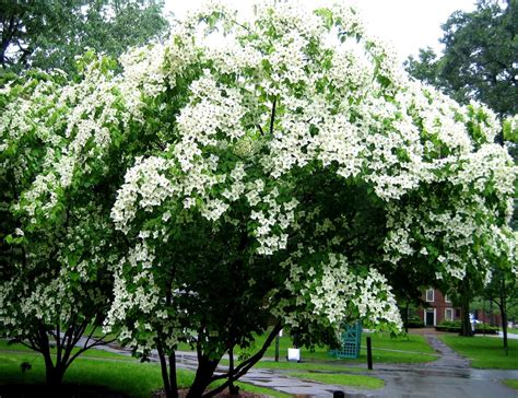 decorative trees for the home the 10 most beautiful ornamental trees for your yard the homesource