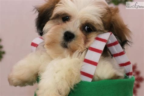 shih tzu breeders in virginia shih tzu puppy for sale near parkersburg marietta west virginia 464d946b 0921