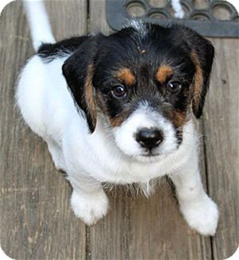 shih tzu beagle mix puppies pet not found