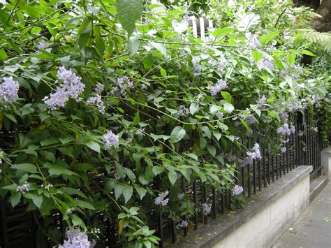 Purple Flowering Shrubs Australia - solanum crispum landscape architect s pages