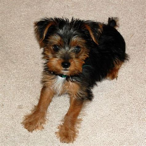 cairn yorkie mix discover and save creative ideas