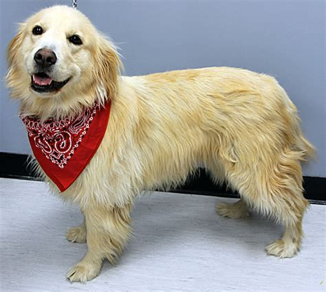 hypothyroidism golden retriever canine pinnal alopecia breeds picture