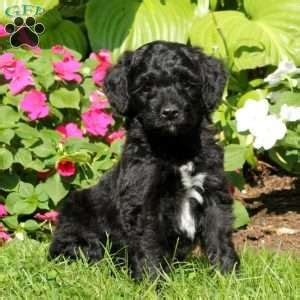 doodle treasures puppy mill miniature goldendoodle puppies for sale in pennsylvania