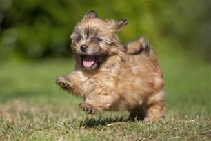 Small Dogs For The Home 20 Small Breeds That Are The Cutest Creatures On The