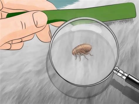 how to flea bomb a house with pictures wikihow