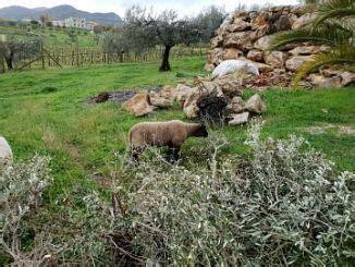 animali da cortile gratis ovini animali da cortile e stalla annunci animali