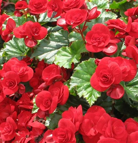 Pink Begonia Flowercrown the solenia velvet begonia produces large 3 inch flower blossoms and glossy foliage a