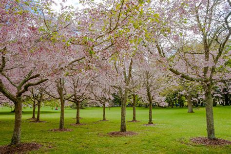 flowering cherry tree grove in auckland s cornwall park stock image image of cheery auckland