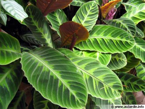 Plante D Appartement D Origine Tropicale by Plante Paon Calathea Planter Cultiver Multiplier