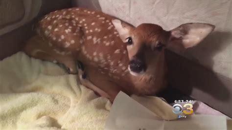 golden retriever saves deer golden retriever saves drowning baby deer ignores americans drowning