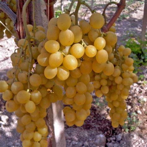 piantare uva da tavola uva da tavola quot italia quot vaso 1 5 litri vendita
