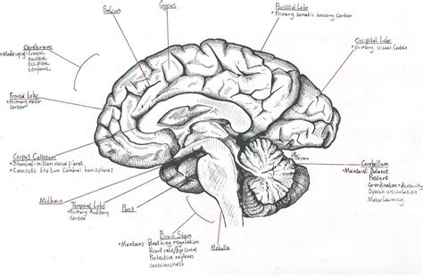 midsagittal section of the brain diagram mid sagittal section through the human brain by destroma