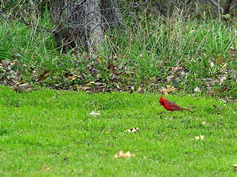 northern cardinal red on green dfw urban wildlife