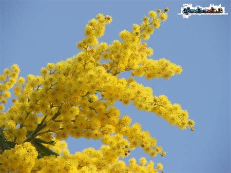 fiore mimosa immagini sfondilandia it sfondo gratis di mimosa in fiore per