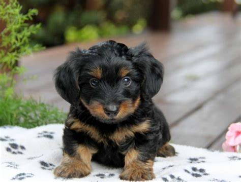 daschund yorkie dorkie dachshund yorkie mix facts pictures