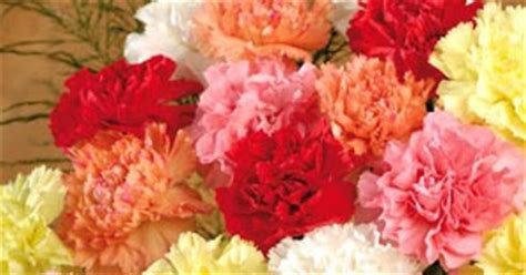 facts about carnations canada floral delivery carnation facts trivia