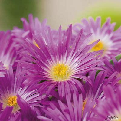 Www Garten Schlüter De by Mittagsblume Purpur Garten Schl 252 Ter Auf Blumen De Kaufen