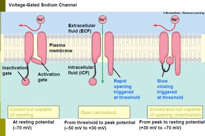 chapter 4 neuronal physiology physiology and