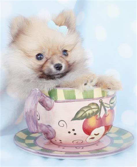 pomeranian tea cups 58 best images about puppies by teacupspuppies on chihuahuas tea cups