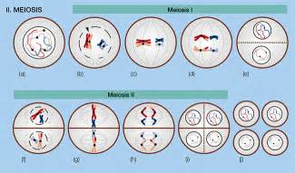 Meiosis stages 1 and 2 diagram