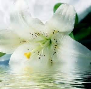 menanam  merawat bunga lily putih bibitbungacom