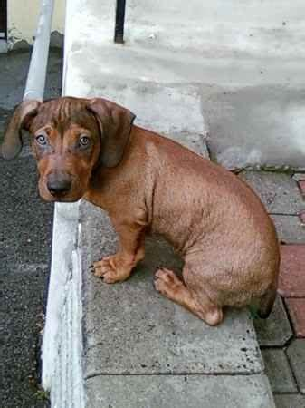 pitbull dachshund puppies 30 best dox bull images on dachshunds puppies and adorable puppies