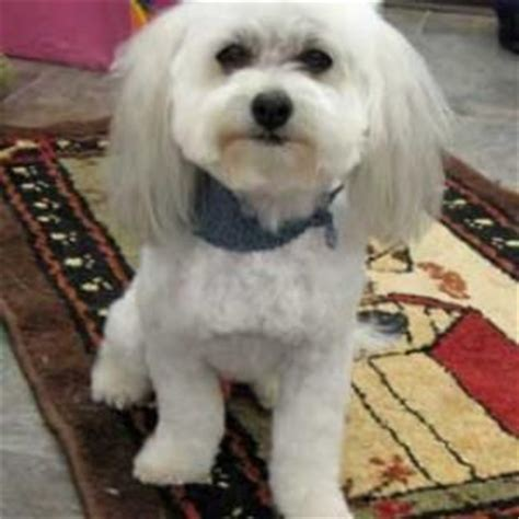 havanese haircut styles 17 best ideas about havanese grooming on havanese puppies cockapoo
