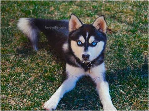 Alaskan Klee Shed by Alaskan Klee Doggies Breeds Picture