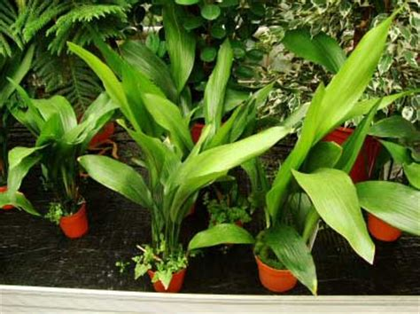 where to buy house plants where can you buy houseplants our house plants