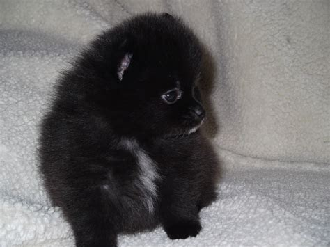 black and pomeranian puppies pomeranian temperament exercise and grooming inspirationseek
