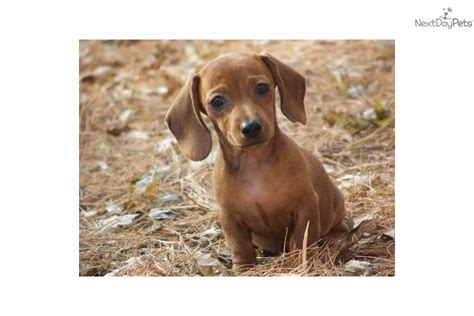 dachshund puppies illinois dachshund mini puppy for sale near chicago illinois 9d767610 6ee1