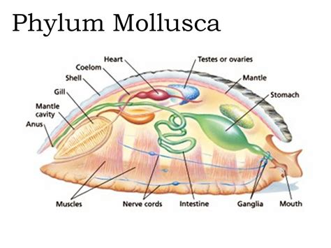 mollusk diagram phylum mollusca means soft refers to their bodies ppt
