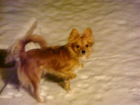 papillon and pomeranian paperanian papillon and pomeranian mix pictures and information