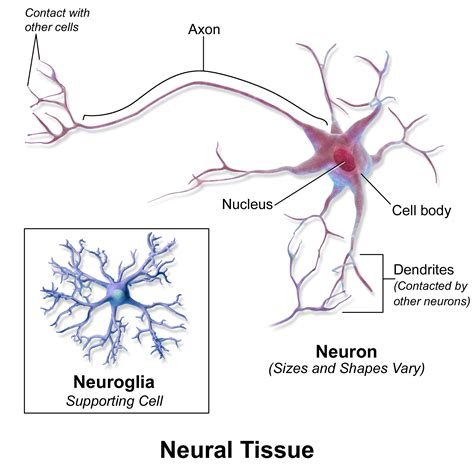 define motor end plate nervous tissue neurons and neuroglial cells images