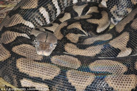 Recorded Birth Thelma The Python Has A Birth Snake