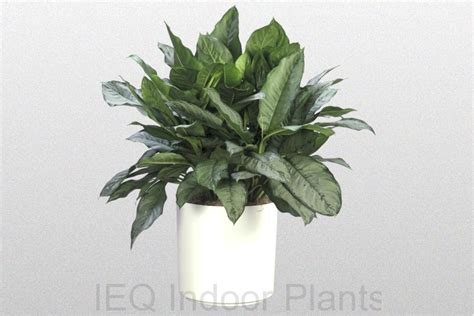 best indoor plant best indoor plants brisbane zanzibar gem low light plants