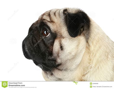 pug breed profile pug profile stock image image of friend portrait 22986989