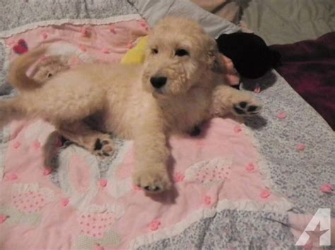 F1b Goldendoodle Shedding by F1b Goldendoodle Puppy Hypoallergenic Nonshedding For