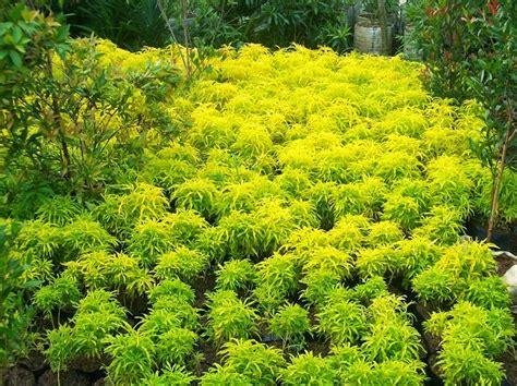 Tanaman Hias Kuning tanaman brokoli kuning bibitbunga