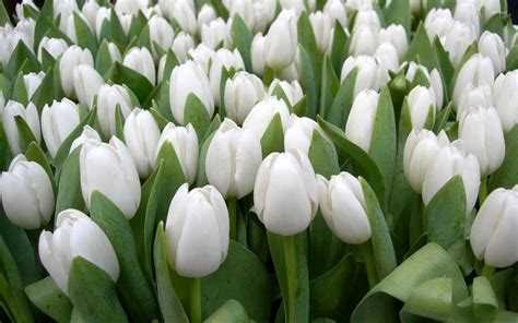 white tulips backgrounds  hdwpro