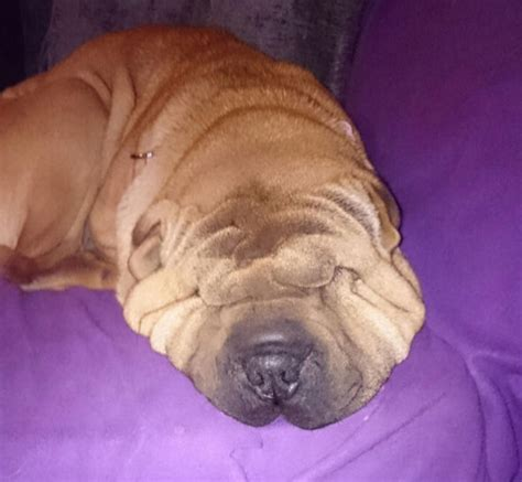 shar pei puppy cost a shar pei so wrinkly she can barely see is desperate for a lift nature news