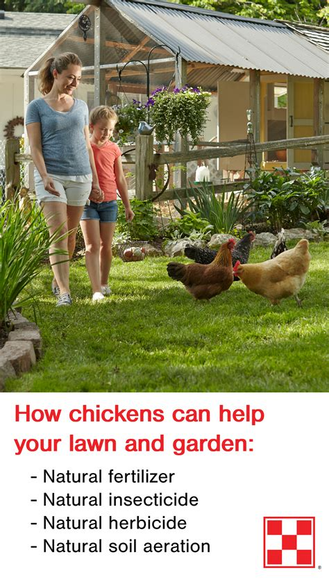 benefits of backyard chickens benefits of raising chickens purina animal nutrition