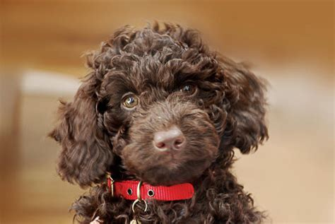 brown labradoodle puppy corrie