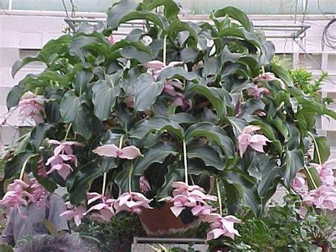 malattie piante appartamento medinilla piante appartamento medinilla da appartamento