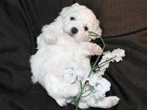 Cuddlyk9 HOME OF THE BEAUTIFUL BICHON FRISE - Puppies For Sale