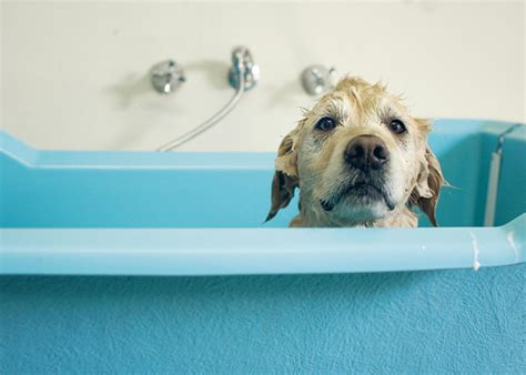 dogs and bathtubs how to give a dog a bath dogtime