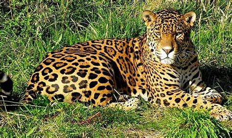 all about jaguars jaguar fiercest cat of the americas animal pictures