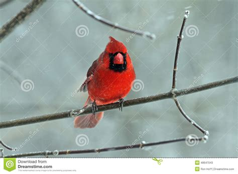 top 28 cardinal migration valleywildlife net northern