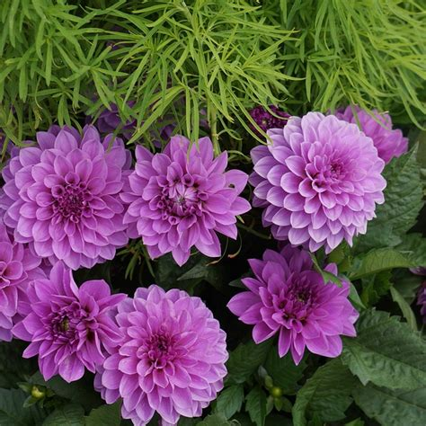 ornamental flowers pictures 28 images types of